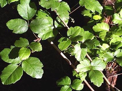 poison oak plant pictures. Poison Oak Picture 2 (shown